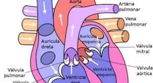 Gambar Organ Jantung